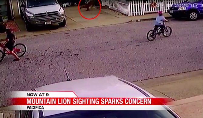 Mountain Lion Caught on Film Scoping Kids in Pacifica Neighborhood
