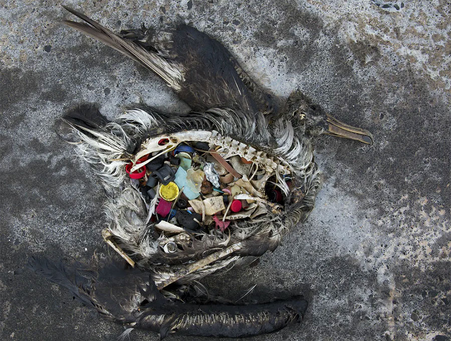 Dead bird with plastic in its stomach