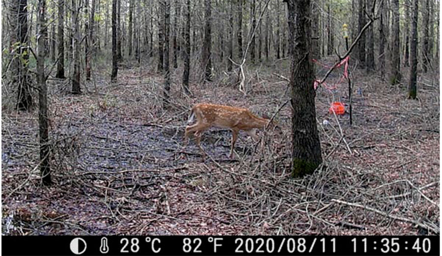 Deer photographed by a remote camera in a climate change-altered forest in North Carolina