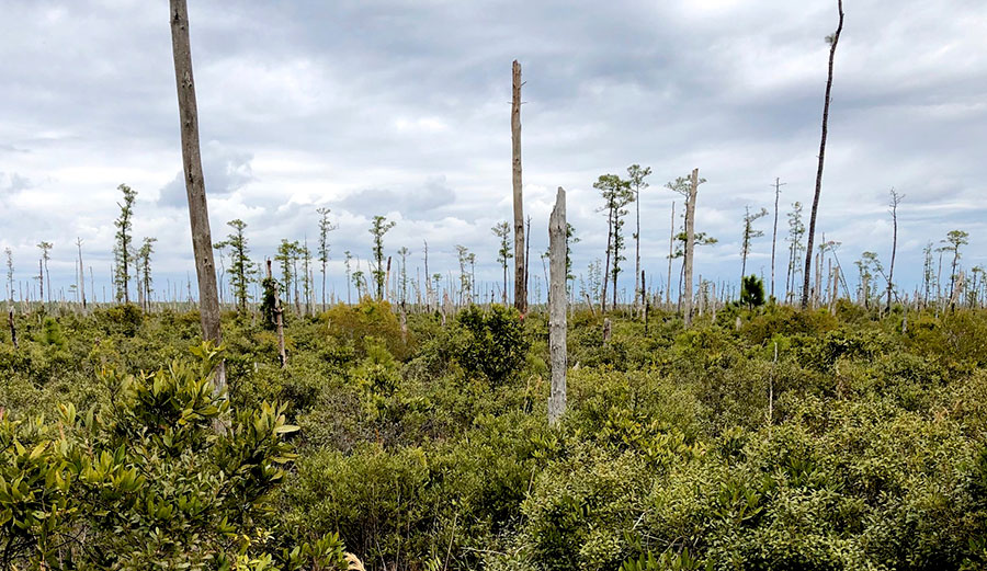 Ghost forest panorama in coastal North Carolina