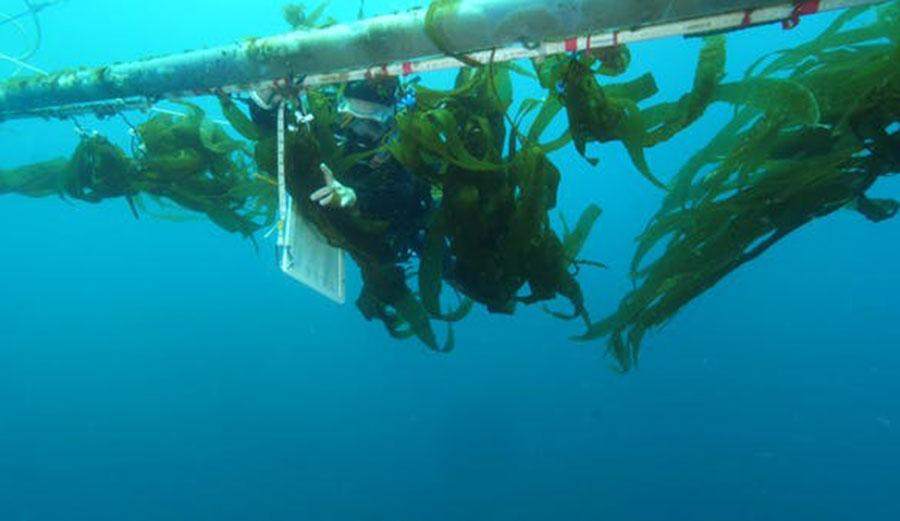 A diver at the 'kelp elevator