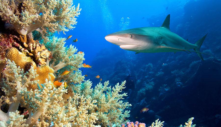 Shark swimming over reef
