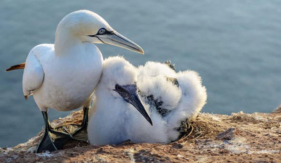 Seabird breeding