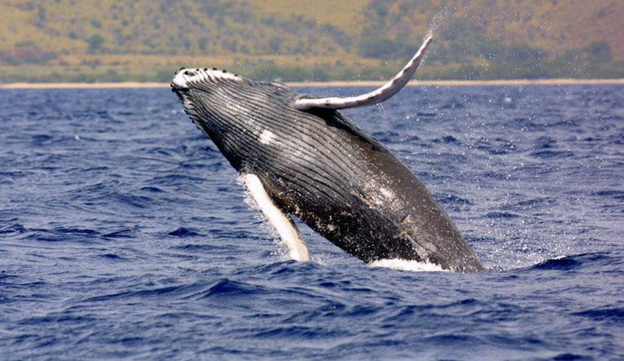 Endangered Pacific humpback whale