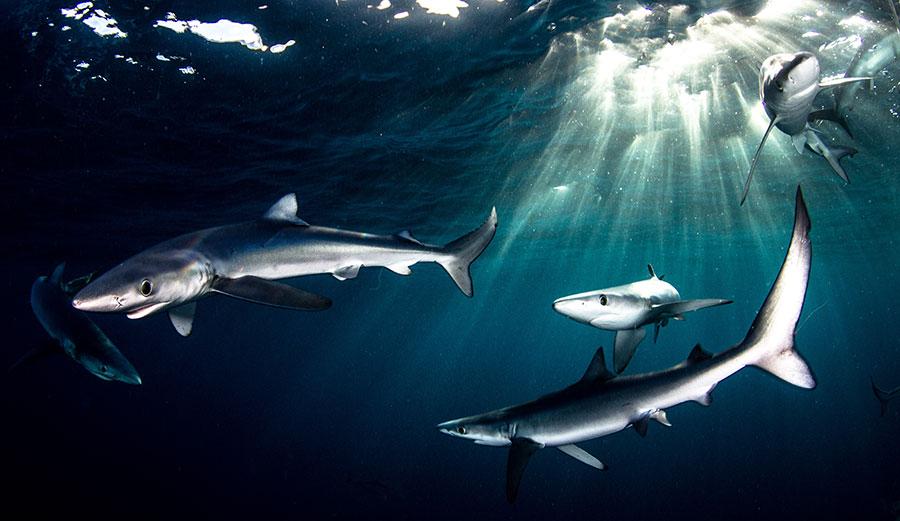 Blue sharks need shark conservation