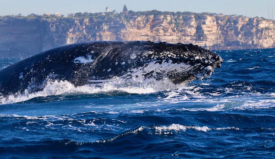 Humpback whales migrating